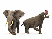 An adult Platybelodon from 9 million years ago is compared to a modern adult African Elephant (genus Loxodonta). The Platybelodon is 10 feet tall at the shoulder and weighs 9,000 pounds, while the African Elephant is 11 feet tall at the shoulder and weighs 10,000 pounds.
