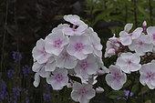 Phlox paniculata Monica Lynden-Bell