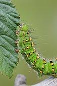 Caterpillar of a night peacock (Saturnia) feeding on leaf, Goldenstedter Moor, Oldenburger Münsterland, Lower Saxony, Germany, Europe