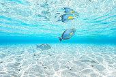 Eyestripe surgeonfish (Acanthurus dussumieri) below the surface in the lagoon, Mayotte