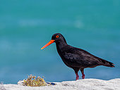 African oystercatcher or African black oystercatcher (Haematopus moquini), Western Cape. South Africa