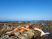 Dead southern right whale (Eubalaena australis) on the rocky shoreline near Hermanus. Whale Coast. Western Cape. South Africa