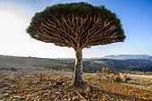Socotra Dragon Tree or Dragon Blood Tree (Dracaena cinnabari), Dixsam plateau, Socotra, Yemen, Asia