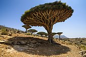 Socotra Dragon Trees or Dragon Blood Trees (Dracaena cinnabari), Homhil protected area, island of Socotra, Yemen, Asia