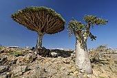 Dragon´s Blood Tree on Socotra island, UNESCO World Heritage Site, Yemen, Asia