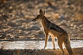Black backed jackal (Canis mesomelas) drinking in waterhole in backlit in Kgalagadi transfrontier park, South Africa