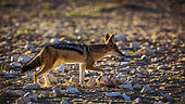 Black backed jackal (Canis mesomelas) running back lit in dry land in Kgalagadi transfrontier park, South Africa