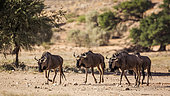 Four Blue wildebeest (Connochaetes taurinus) walking in dry land in Kgalagadi transfrontier park, South Africa