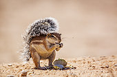 Cape ground squirrel (Xerus inauris) eating seed isolated in natural background in Kgalagadi transfrontier park, South Africa