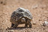 Leopard tortoise (Stigmochelys pardalis) walking front view in desert in Kgalagadi transfrontier park, South Africa