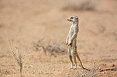Meerkat (Suricata suricatta) standing up in alert in desert in Kgalagadi transfrontier park, South Africa