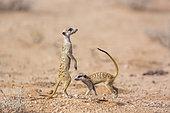 Two Meerkat (Suricata suricatta) in dry land in Kgalagadi transfrontier park, South Africa