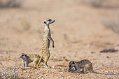 Three Meerkats (Suricata suricatta) in dry land in Kgalagadi transfrontier park, South Africa