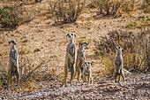 Small group of Meerkats (Suricata suricatta) in alert in Kgalagadi transfrontier park, South Africa
