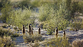 Meerkat Suricata suricatta family in alert in backlit in Kgalagadi transfrontier park, South Africa