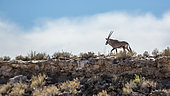 South African Oryx (Oryx gazella) walking on top of the cliff in Kgalagadi transfrontier park, South Africa
