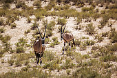 Two South African Oryx (Oryx gazella) walking front view in Kgalagadi transfrontier park, South Africa