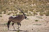 South African Oryx (Oryx gazella) in Kgalagadi transfrontier park, South Africa