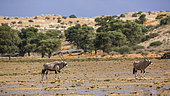 Two South African Oryx (Oryx gazella) in desert scenery after rain in Kgalagadi transfrontier park, South Africa