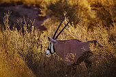 South African Oryx (Oryx gazella) portrait in backlit at sunrise in Kgalagadi transfrontier park, South Africa