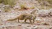 Yellow mongoose (Cynictis penicillata) walking in scrubland in Kgalagadi transfrontier park, South Africa