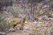 Yellow mongoose (Cynictis penicillata) looking at camera in scrubland in Kgalagadi transfrontier park, South Africa