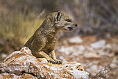 Yellow mongoose (Cynictis penicillata) showing teeth in Kgalagadi transfrontier park, South Africa