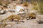 Two Yellow mongooses (Cynictis penicillata) in scrubland in Kgalagadi transfrontier park, South Africa