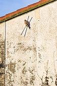 Faucon crécerelle (Falco tinnunculus) sur un mur, Camargue, Arles, Parc naturel régional de Camargue, France