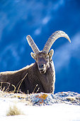 Alpine ibex (Capra ibex), Ubaye valley, Alpes de Haute Provence, France