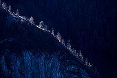 European larch (Larix decidua), Bachelard valley, Mercantour National Park, Alps, France