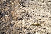 Roe deer (Capreolus capreolus), Ubaye valley, Alpes de Haute Provence, France