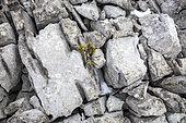 Lapiaz et jeune Pin à crochets (Pinus uncinata) sur les crêtes de Cachillan, Mont Ventoux, Provence, France