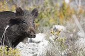 Eurasian boar (Sus scrofa), Monts de Vaucluse, France