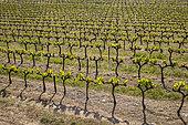 Young vine leaves, Bonnieux, Parc Naturel Régional du Luberon, France