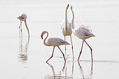 Greater Flamingo (Phoenicopterus roseus) in the water, Camargue, France