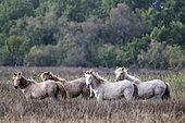 Camargue horses in the Marais du Vigueirat, Camargue, France