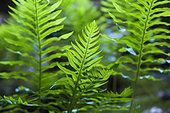 Common polypody (Polypodium vulgare), Venasque, Ventoux Regional Nature Park, France