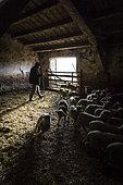 Sheep breeding, Coussoul de Crau natural reserve, Bouches-du-Rhône, France