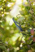 Praying mantis (Mantis religiosa) in the foliage, Alpes de Haute Provence, France
