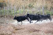 Camargue bulls running in the marshes, Arles, Camargue Regional Nature Park, France