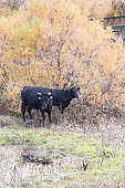Camargue bulls in the marshes, Arles, Camargue Regional Nature Park, France