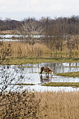 Camargue horse foal, Arles, Camargue Regional Nature Park, France