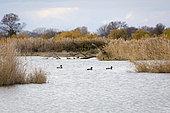 Mallard (Anas platyrhynchos), Arles, Camargue Regional Nature Park, France
