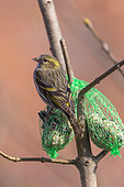 Siskin (Spinus spinus), Adult female, eats seeds included in a ball of fat, Winter feeding, Obernai, Alsace, France