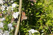 Red Squirrel (Sciurus vulgaris), on a tree near a feeding station, garden, Strasbourg, Bas Rhin (67), Grand Est Region, France