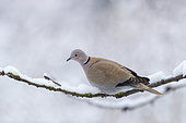 Eurasian collared Dove (Streptopelia decaocto), perched in a cherry tree in winter with snow, Obernai, Alsace, France