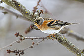 Northern chaffinch (Fringilla montifringilla), male perched in a cherry tree in winter with snow, Obernai, Alsace, France,