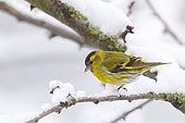 Eurasian siskin (Spinus spinus), male perched in a cherry tree, in winter with snow, Obernai, Alsace, France