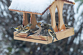Hawfinch (Coccothraustes coccothraustes), adult male and Northern chaffinch (Fringilla montifringilla), birds perched in a feeder, in winter with snow, Obernai, Alsace, France